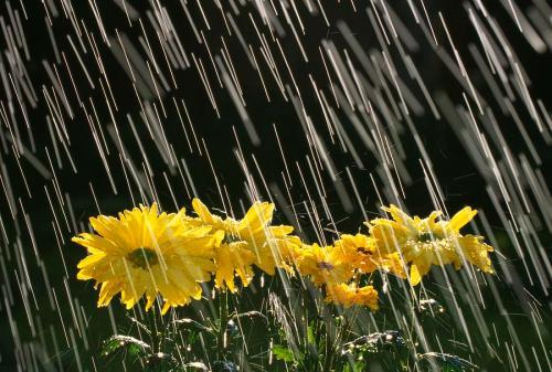 rain on daisies