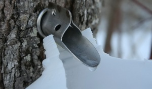 tapping-maple-tree
